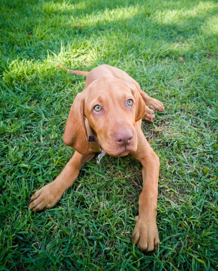 ein brauner Welpe vizsla Hund lizenzfreie stockbilder