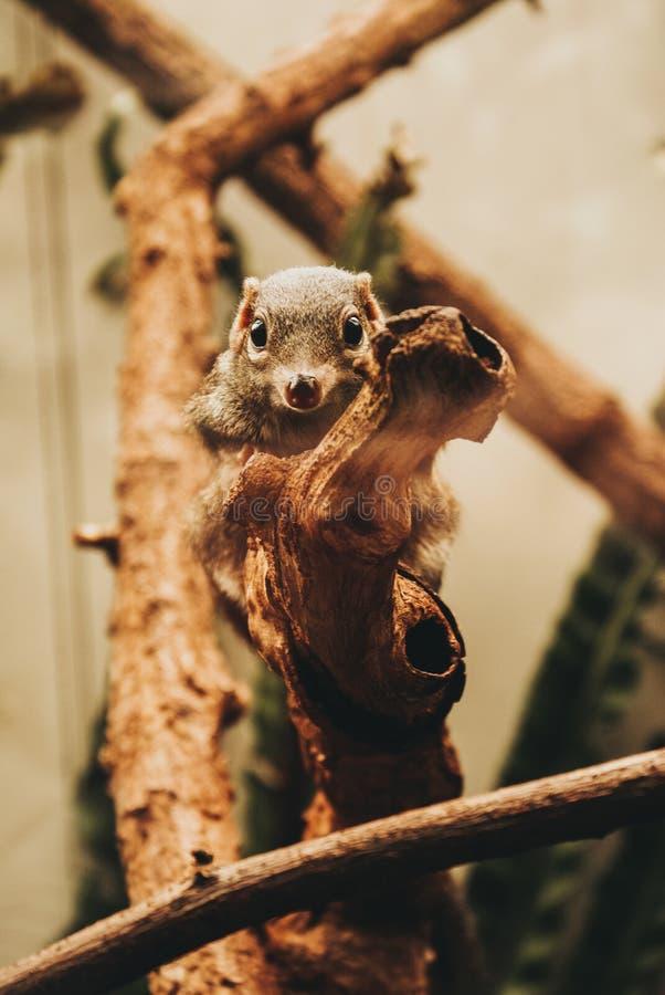 Ein braunes nettes Eichhörnchen, das mit seinen entzückenden großen Augen ziemlich neugierig schaut lizenzfreies stockbild