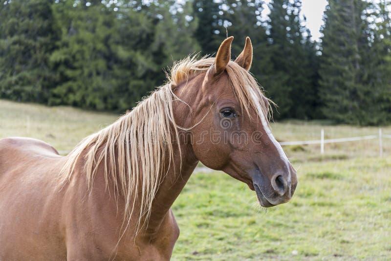 Ein braunes Pferd stockfotografie