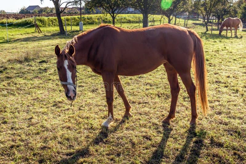 Ein braunes Pferd, das auf einer Wiese weiden lässt lizenzfreie stockfotografie