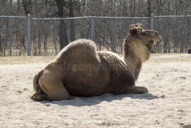 Ein-Buckel Kamel stockbilder