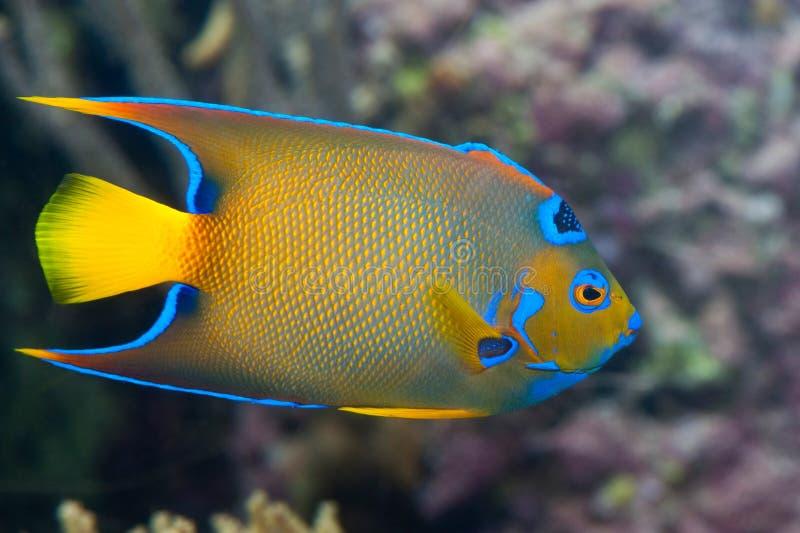 Ein bunter Kaiserfisch lizenzfreies stockfoto