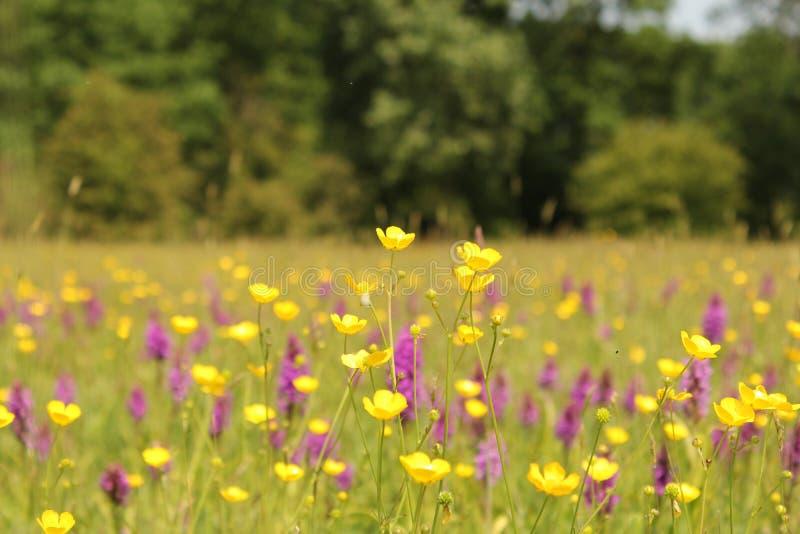 Ein buntes Feld mit Butterblumeen und Orchideen im Frühjahr stockbilder