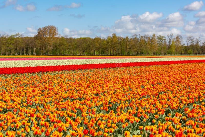 Ein buntes Tulpenfeld nahe Lisse in Holland stockbild