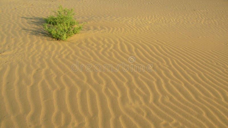Ein Busch an der glatten Oberfläche des Sandes mit Wellen in der Wüste lizenzfreie stockbilder