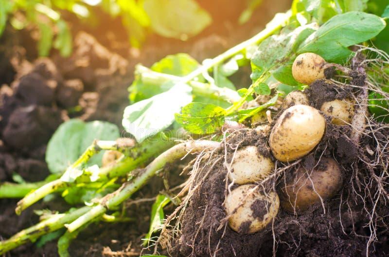 Ein Busch von jungen gelben Kartoffeln, erntend, Frischgemüse, Landwirtschafts-kultur und bewirtschaften, Nahaufnahme, gute Ernte lizenzfreie stockfotografie
