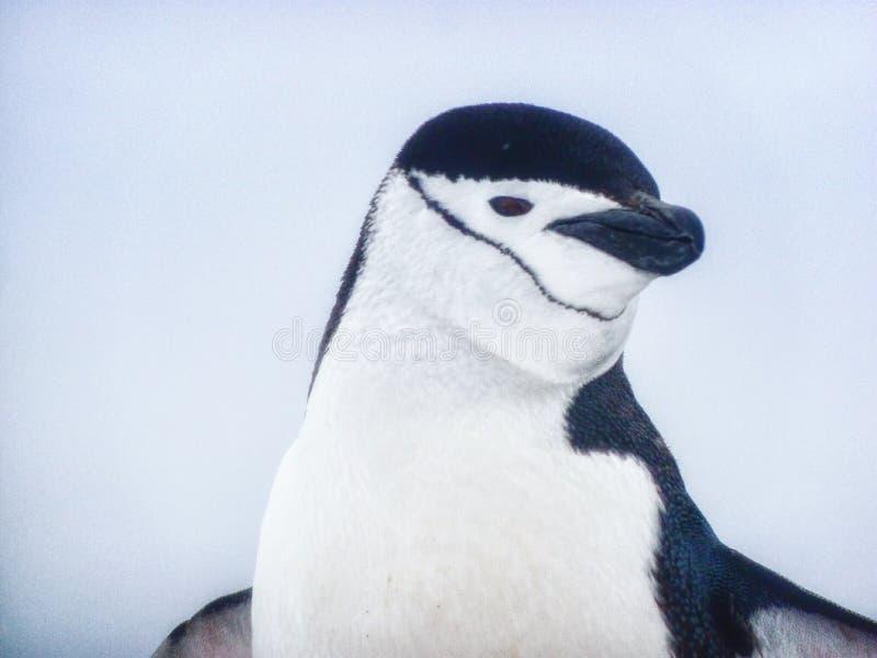 Ein Chinstrap Pinguin lizenzfreies stockfoto