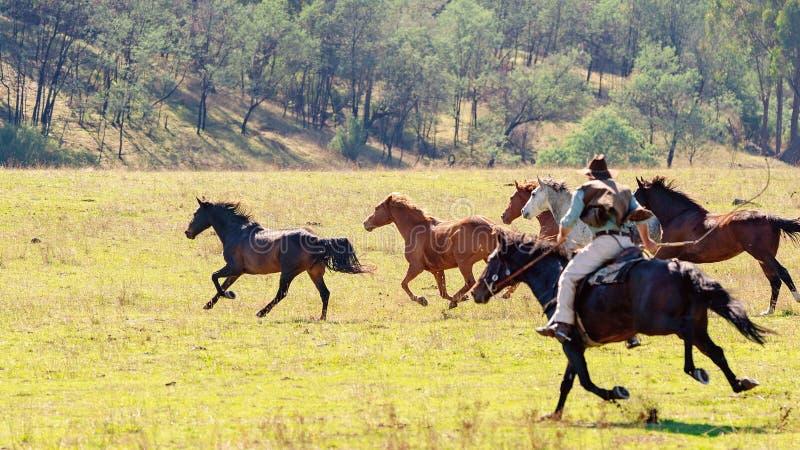 Ein Cowboy Herding Wild Horses stockfotos