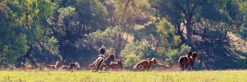 Ein Cowboy Herding Wild Horses im großartigen Land lizenzfreies stockbild