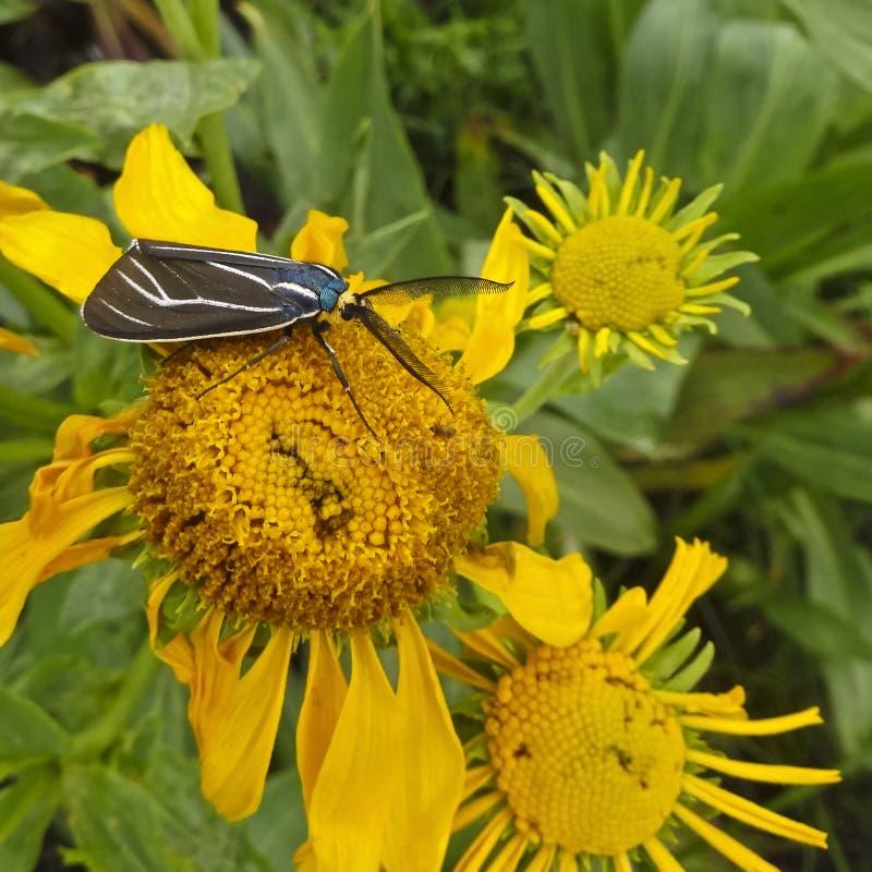 Ein Ctenucha Tiger Moth auf einer Sonnenblume lizenzfreie stockbilder