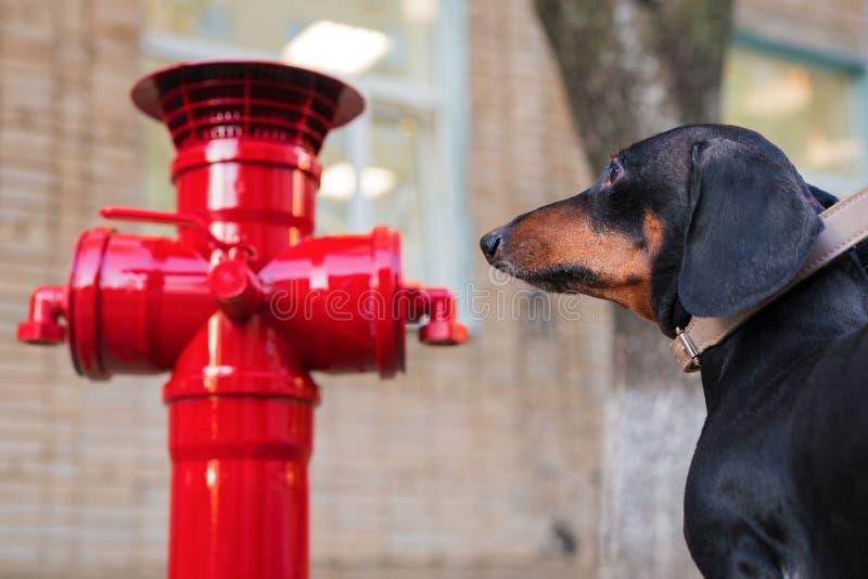 Ein Dachshundhund betrachtet den roten Hydranten stockfoto