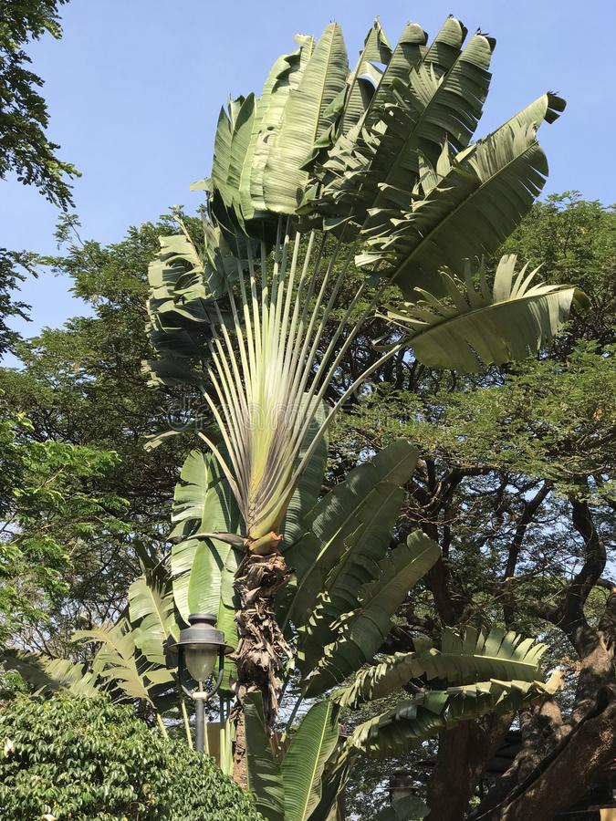 Ein dekorativer Baum sieht wie Banane aus lizenzfreie stockbilder