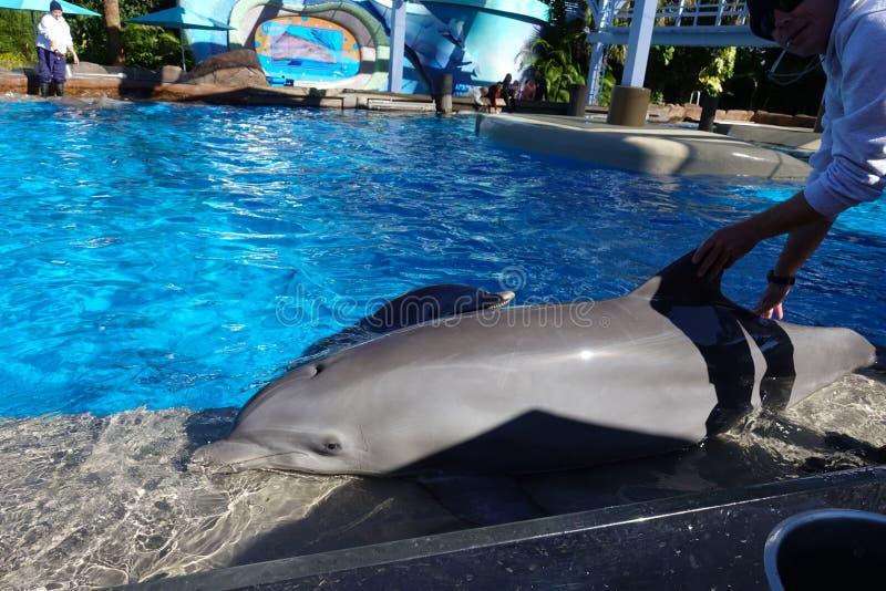 Ein Delphin, der ausgebildet wird, um oben auf eine Wand zu schieben stockfotografie