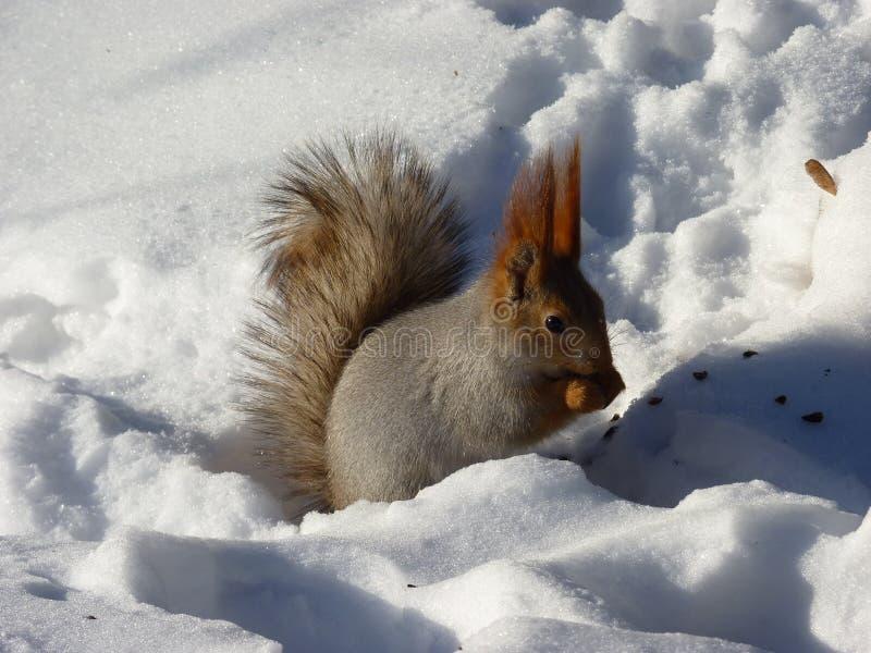 Ein Eichhörnchen auf dem Schnee die Nuss essend lizenzfreies stockfoto