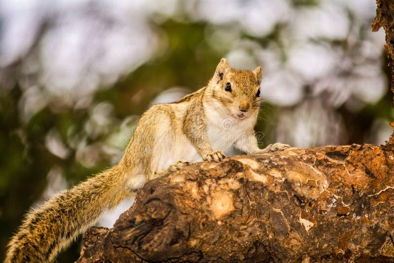 Ein Eichhörnchen, das die Kamera anstarrt stockbild