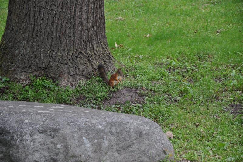Ein Eichhörnchen an einem Baum stockbilder