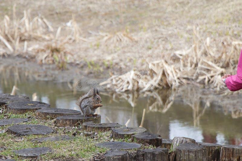 Ein Eichhörnchen isst Nüsse von den Händen eines Mannes auf dem Rasen Brown-Nagetieressen lizenzfreie stockfotos