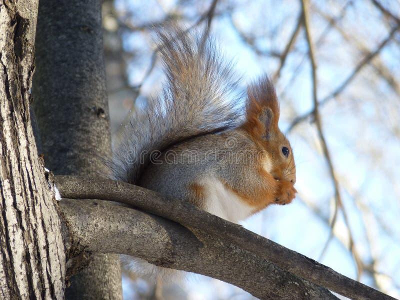 Ein Eichhörnchen mit grauem Pelz auf der Niederlassung des Baums lizenzfreie stockfotos