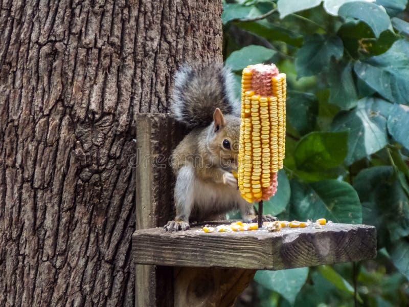 Ein Eichhörnchen und sein Mittagessen stockfotos