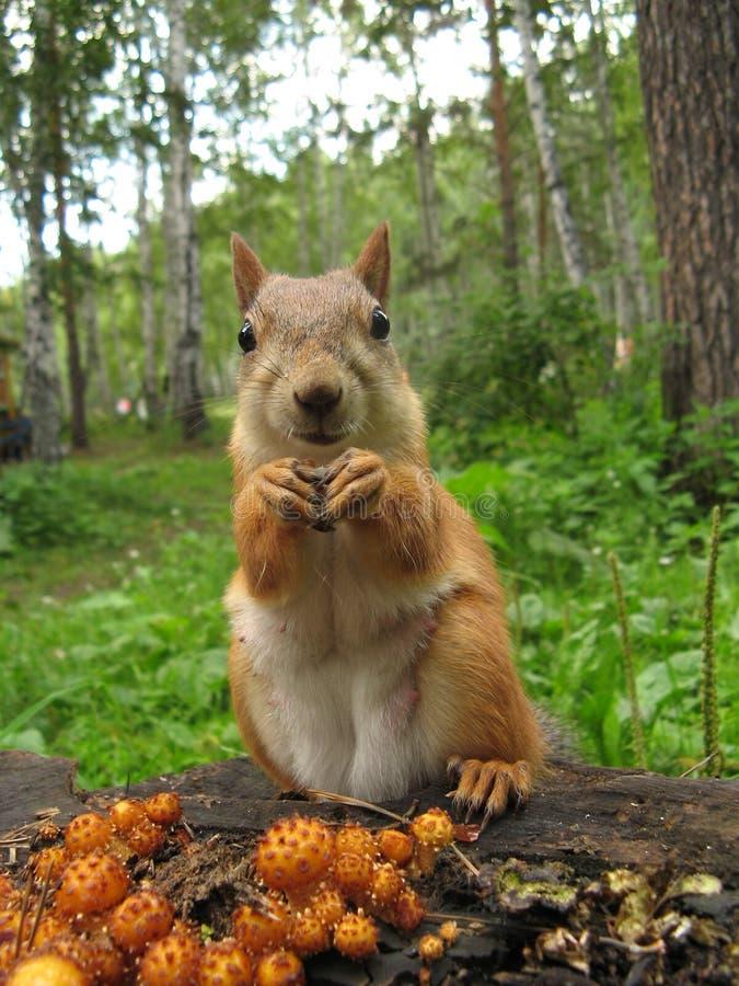 Ein Eichhörnchenessen lizenzfreies stockbild