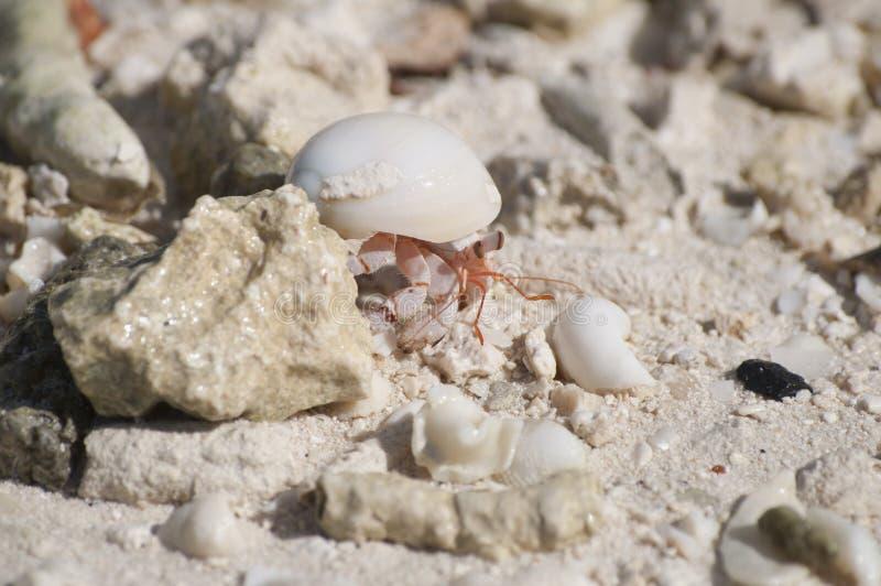 Ein Einsiedlerkrebs auf dem Strand in Bora Bora lizenzfreie stockfotos
