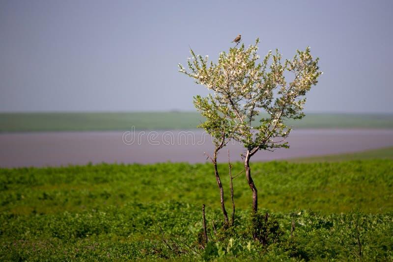 Ein einzelner blühender Baum in der Steppe Spatz, der auf Kirschbl?ten sitzt Blauer heller Himmel Fr?hling, sonniger Tag lizenzfreie stockbilder