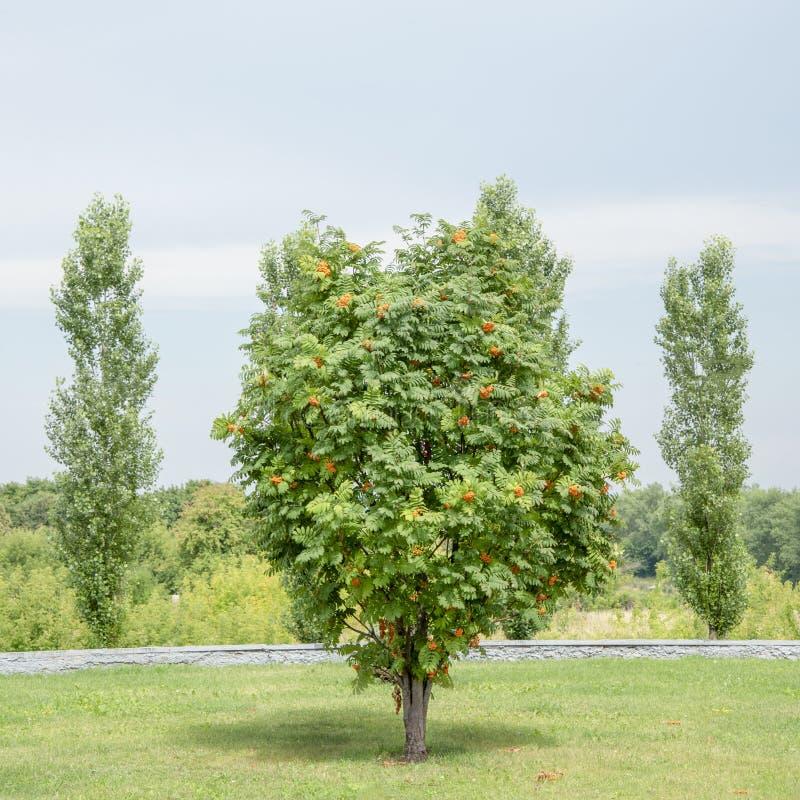 Ein einzelner Ebereschenbaum mit orange Beeren wächst auf einem grünen Feld lizenzfreies stockbild