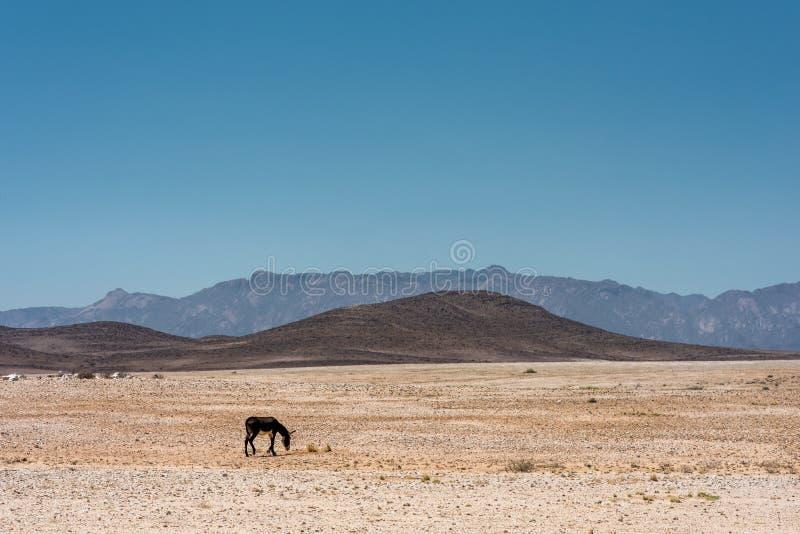 Ein einzelner Esel, der in der beträchtlichen und trostlosen Landschaft von Namibia weiden lässt lizenzfreies stockfoto