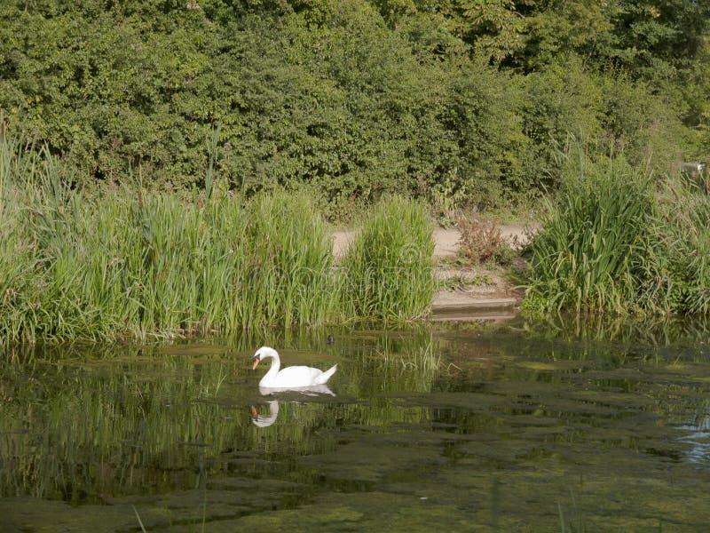 Ein einzelner Höckerschwan auf die Oberseite von einem See mit Reflexion im w stockfotografie
