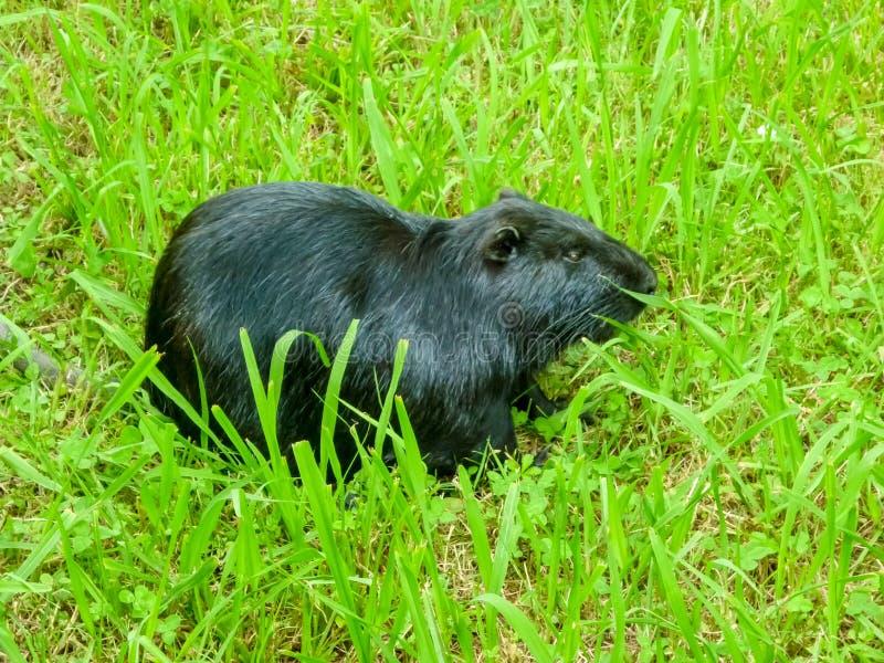 Ein einzelner schwarzer Biber, der auf dem grünen Gras sitzt lizenzfreie stockfotografie