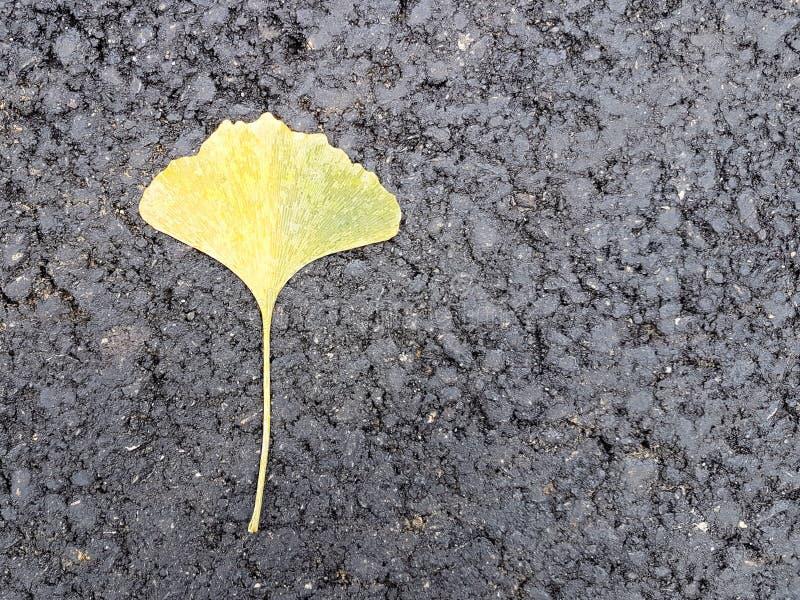 Ein einzelnes gelb gefärbtes Blatt von Gingobiloba liegt auf dem neuen schwarzen Asphalt Herbst gefallene Blätter Japanische Flor stockfotografie