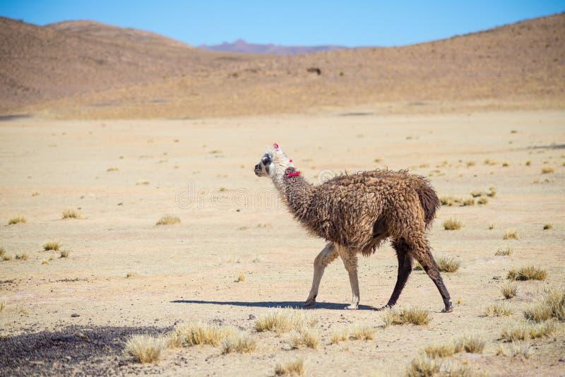 Ein einzelnes Lama auf dem Andenhochland in Bolivien Erwachsenes Tiergaloppieren in Wüstenland Weicher Fokus lizenzfreie stockfotos