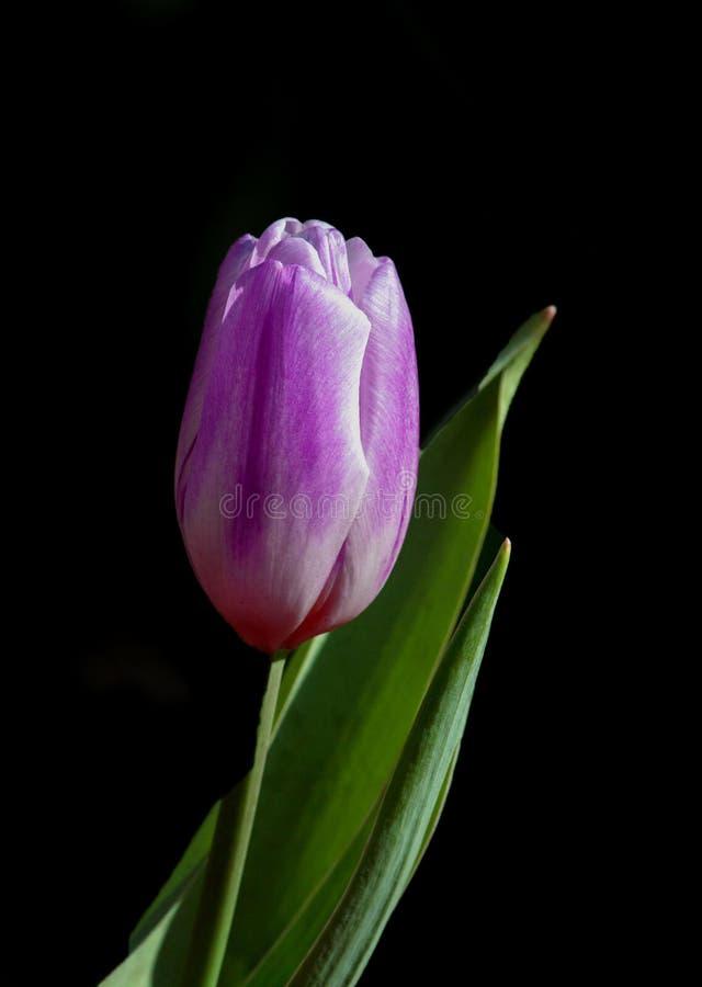 Ein Einzelstück der Tulpe mit Blatt stockfotos