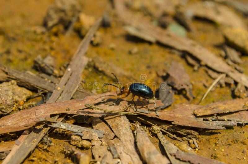 Ein einziger glänzender Käfer macht es ist Weise lizenzfreies stockbild
