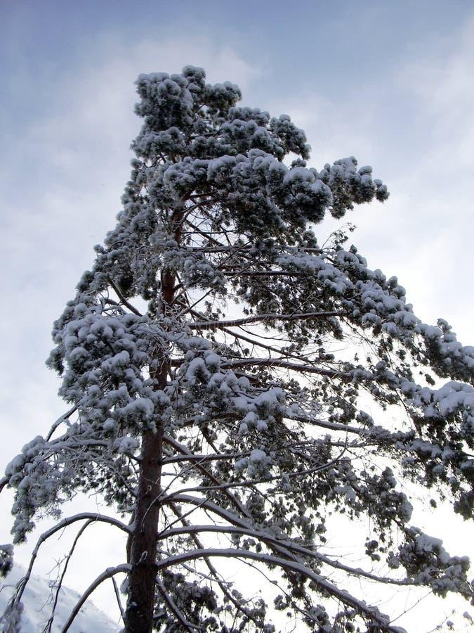 Ein einziger großer Kiefernbaum im Winter am Tag Seine sich ausbreitenden immergrünen Äste sind schneebedeckt stockfotos