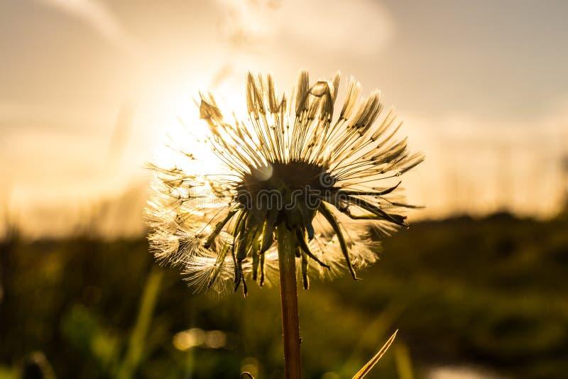 Ein einziger Löwenzahn vor einer niedrigen Sonne, die hintergrundbeleuchtet ist stockfotos