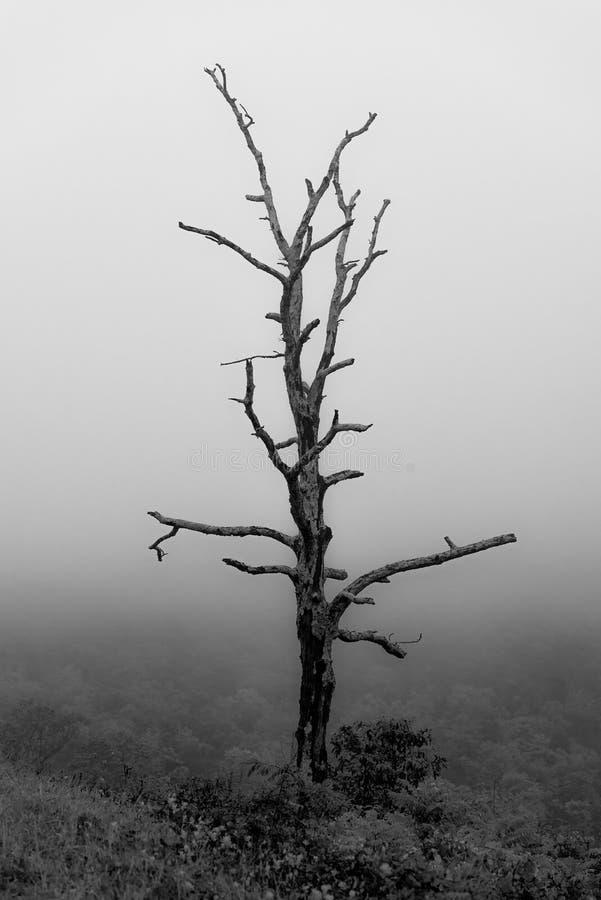 Ein einziger toter Baum im Nebel in Nationalpark Shenandoah lizenzfreies stockbild