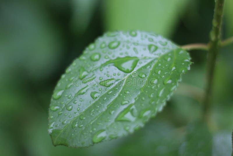 Ein einziges Blatt, das Regentropfen sammelt, ist nicht an allen allein stockfotografie