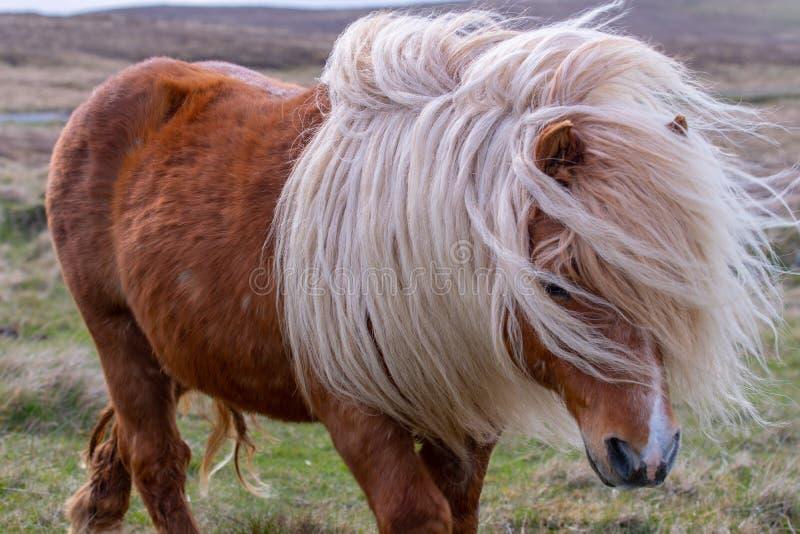 Ein einziges die Shetlandinseln-Pony hat seine lange, rauhaarige Mähne, die herum im Wind durchgebrannt wird stockfoto