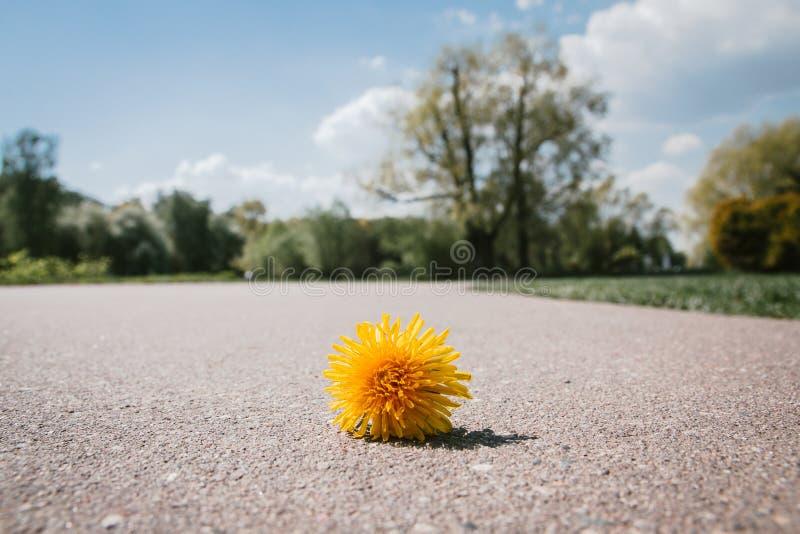 Ein einziges gezupft einem gelben Löwenzahn, der auf der Pflasterung, heftige geworfene Blumen liegt lizenzfreies stockbild