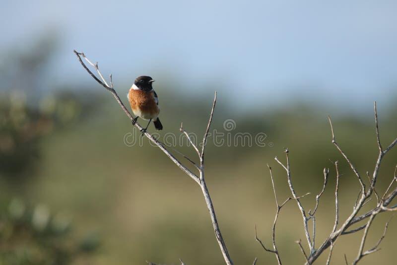 Ein einziges männliches afrikanisches Steinschwätzchen stockfotos