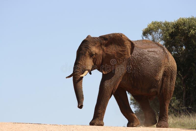 Ein Elefant, der die Straße kreuzt stockbild