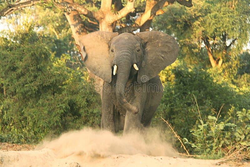 Ein Elefant, der seinen Rasen schützt lizenzfreie stockfotos