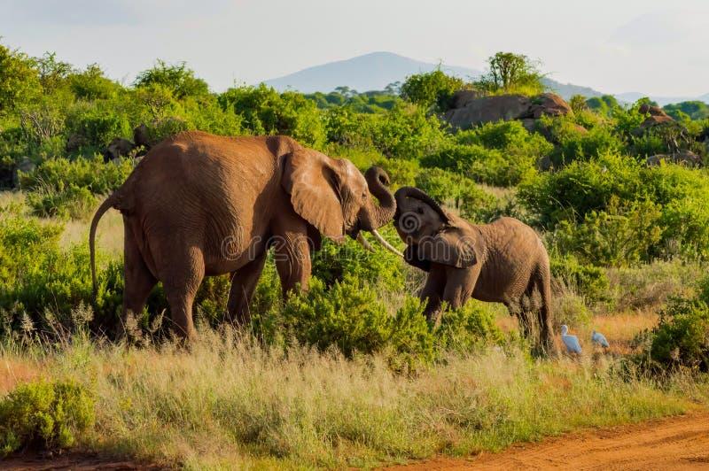 Ein Elefant und sein kleines Ein in einem Weg in der Savanne lizenzfreie stockfotografie