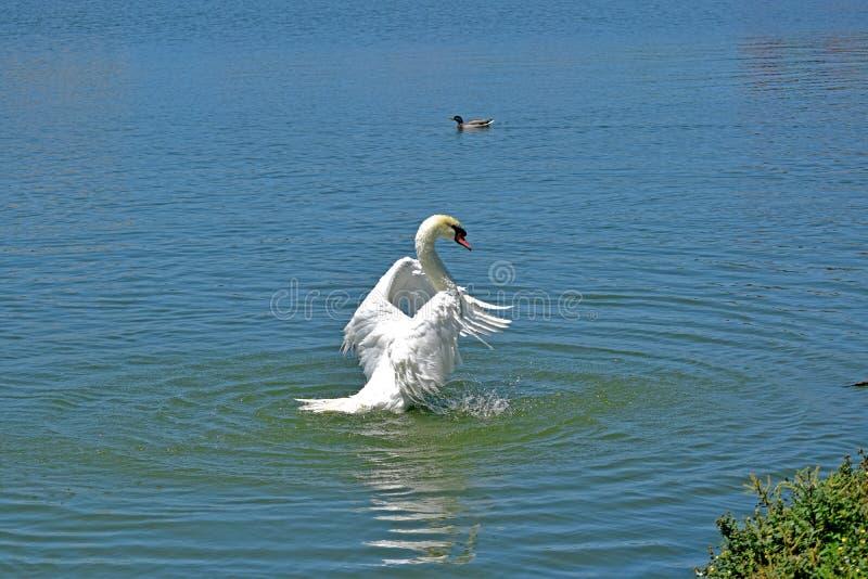 Ein eleganter Schwan auf dem See Eine große und mannigfaltige Anzahl von Vögeln machen See Morton ein Haus stockbilder