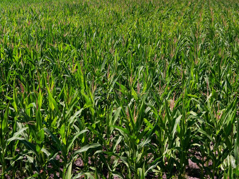 Ein endloses Feld von grünem Mais bis zum Horizont stockbild