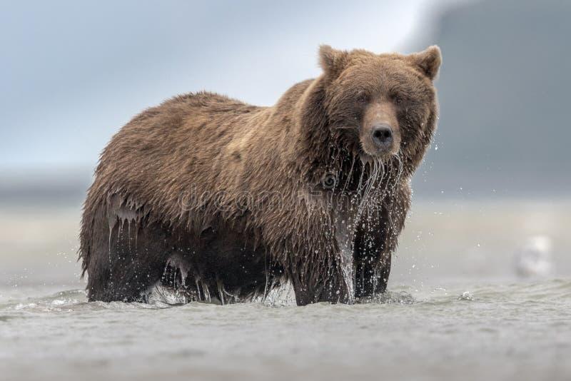 Ein enormer Grizzlybär, der Salomon während der Ebbe, in Katmai fischt lizenzfreie stockfotos