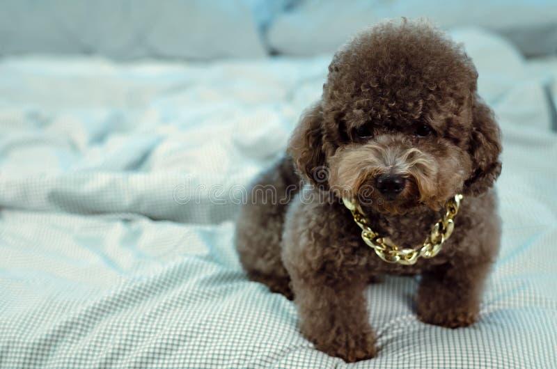 Ein entzückender junger schwarzer Pudelhund, der goldene Halskette trägt und auf unordentlichem Bett sitzt lizenzfreie stockbilder