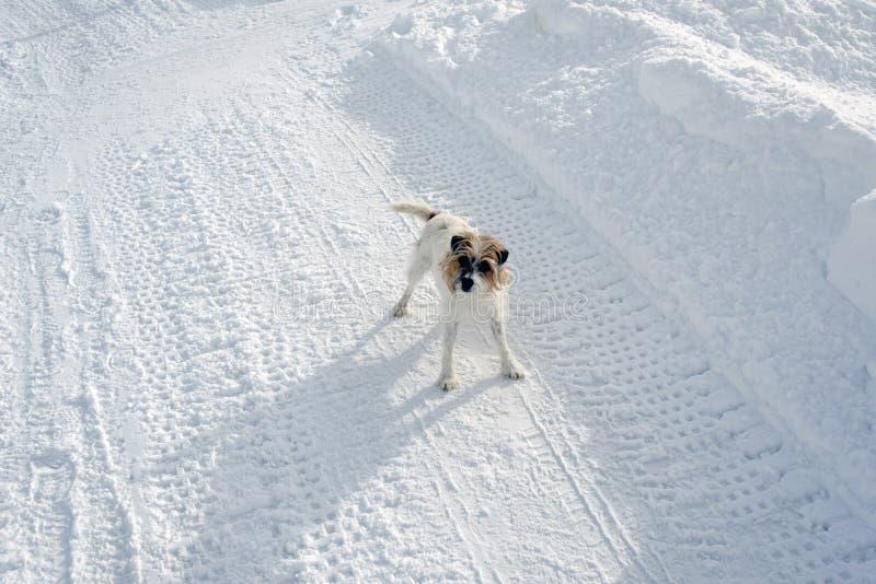 Ein entzückender netter Hund mit einem überraschten Blick auf dem Schnee umfasste Landschaft im Winter in den Alpen die Schweiz stockfotografie