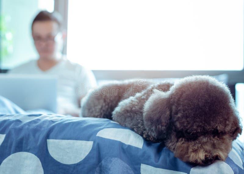 Ein entzückender schwarzer Pudelhund, der auf Bett und der Aufwartung, um mit dem Eigentümer zu spielen gelegt wird, dem arbeitet lizenzfreies stockfoto